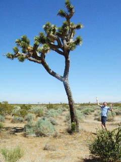 Sideways - Brent as a Joshua tree